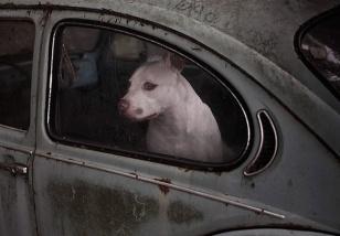 dogsincars4